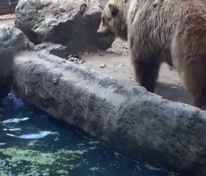Bear Rescues Crow From Drowning