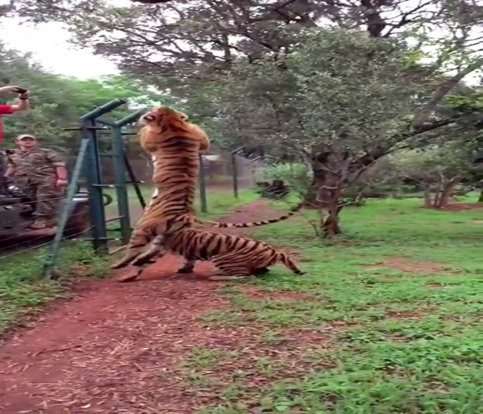 Tiger jumps to catch meat, filmed in slow-motion